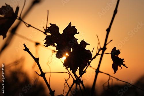 Foto File di vite in una collina in autunno con foglie rosse