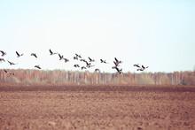 Migratory Birds Flock Of Geese In The Field, Landscape Seasonal Migration Of Birds, Hunting