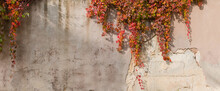 Old Plastered Retaining Wall With Hanging Autumn Climbing Plants, Background