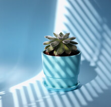 Succulent Echeveria Doris Taylor, In A Ceramic Blue Pot On A Blue Background With Shadows From The Blinds. Woolly Rose.