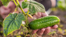 Baby Hand Holds Ripe Cucumber, Not Yet Torn