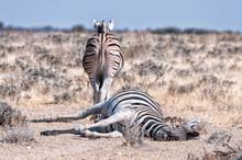 Burchells Zebras Lying On The ...