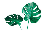 Vibrant Green Mostera Plant Leaves Against A White Background,clipping path