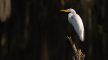 Great White Egret With Dark Background