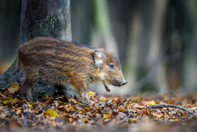 Baby Wild Boar, Sus Scrofa, Running Red Autumn Forest In Background