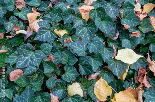 Obraz na plátně Ground-covering green ivy with autumn leaves. High quality photo