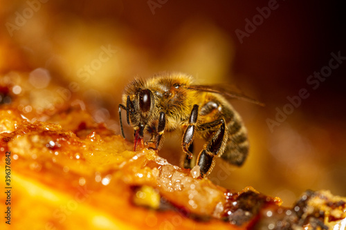Honey bee collects honey from the frame. Fototapeta