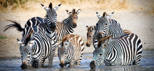 Herd Of Wild African Zebra Drink From Watering Hole In Tanzania