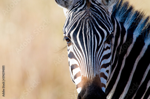 Fototapeta premium Beautiful wild zebra with long eyelashes outside in African savanna