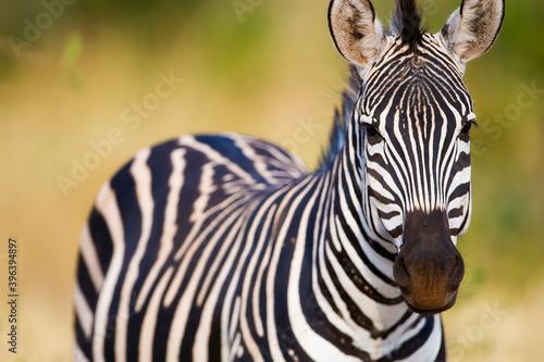 Fototapeta premium Wild zebra in African savanna