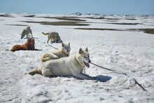 Dog Sled Ready For A Ride On A Snowy Arctic Lansdscape, Melting Snow In Warming Weather Of Climate Change