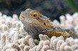 canvas print picture - close up photo of bearded dragon, pet bearded dragon