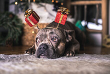 Cute French Bulldog Dog With X Mas Present Ears Under The Christmas Tree