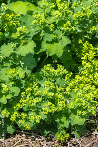 Fotomural closeup of Alchemilla mollis - garden Lady's Mantle plant with flowers in bloom