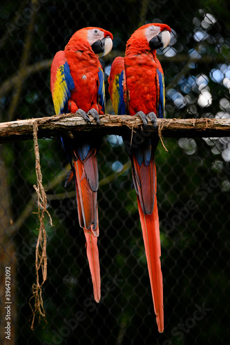 Fotomural Two large red parrots on a branch next to each other in an aviary