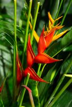Beautiful And Fresh Heliconia Bihai