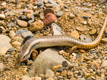 Ocellated Skink, Chalcides Ocellatus