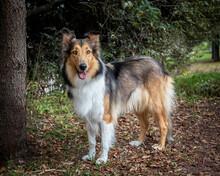Happy Purebred Collie Dog Stan...