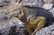 Galapagos Land Iguana, Conolophus