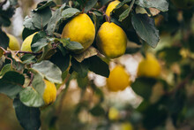 Ripe Yellow Quince Fruits Grow...