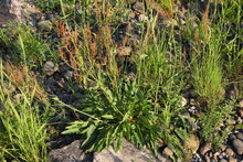 A Plant Among Stones.Green Grass With Red Seeds On A Sunny Summer Day.Rumex Acetosa