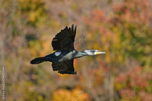 Fototapeta premium カワウ、野鳥、紅葉、池、飛翔、大阪