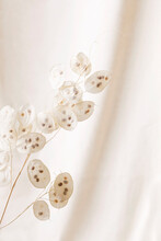 Dry Lunaria On A Pastel Beige Background. Dry Seed Pods Of Lunaria With Seeds Visible. Floral Minimal Home Interior Boho Style. Lunaria Annua, Moonwort. Selective Focus