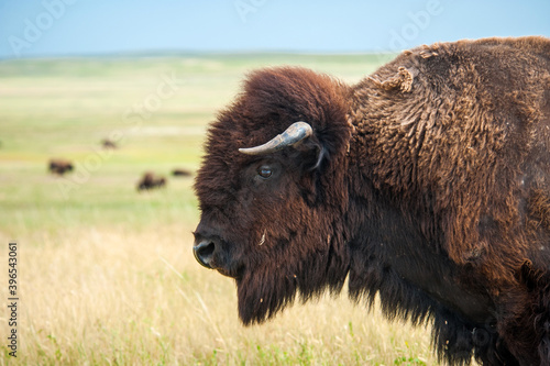 Fotografiet Buffalo in the Wyoming prairies