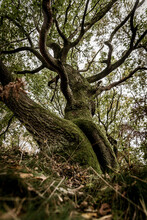 Old Twisted Tree In The Woods