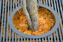 Yellow Leaves Of A Ginkgo Biloba Tree Fallen On The Ground. Soil Around Tree Covered With A Layer Of Ginkgo Leaves. The Tree Is Planted In Circle Covered With Bars. Lattice With A Circle Mulch