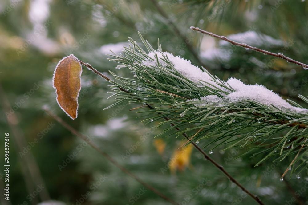 Fototapeta Samotny liść wśród igieł sosny
