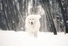 Beautiful Maremmano Abruzzese Sheepdog Walking On The Snow In The Forest In Winter. Big White Maremma Dog