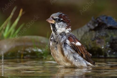 The house sparrow is careful when bathing. Czechia. Europe. Fotobehang