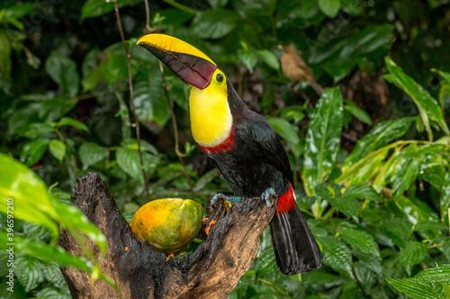 Fototapeta premium Portrait of chestnut mandibled toucan, Costa Rica