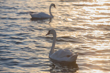Pair Of Adult White Swans Moves On The Water