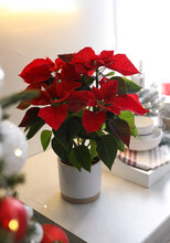 Beautiful Poinsettia On White Kitchen Counter. Traditional Christmas Flower