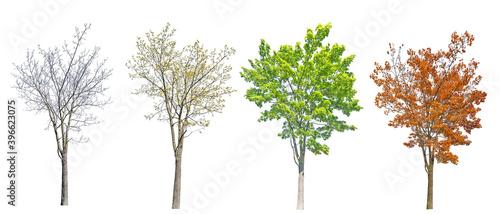 Fotografia four seasons medium maple tree isolated on white