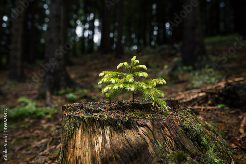 Jung seedling of spruce in the forest. Primeval forest in Europe. Billede på lærred