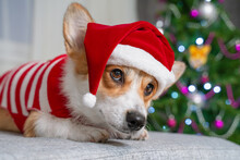 Serious Dog Welsh Corgi Pembroke Is Sitting In Santa Claus Hat Against The Background Of A Christmas Tree At Home Is Waiting For The Holiday At Home..