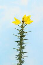 Flowering Gorse Against Blue Sky