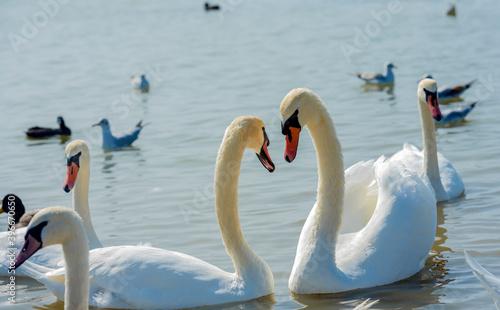 Fotografie, Obraz many swans swim together in the lake