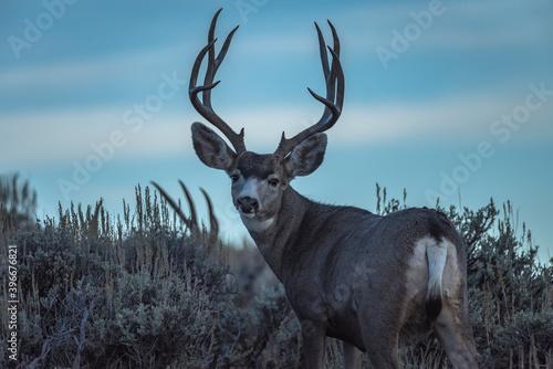 Slika na platnu mule deer bucks at dawn