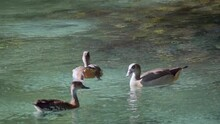 Pair Of Egyptian Ducks Do Not Allow Yagusa Duck To Approach, Close Shot, Crystal Clear Lake