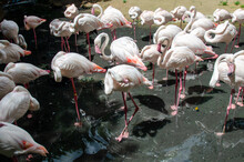 A Group Of Beautiful Pink Flamingos Is Standing In A Pool In A Zoo , Ubonrachthani Thailand.