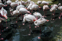 A Group Of Beautiful Pink Flamingos Is Standing And Sleep In A Pool In A Zoo , Ubonrachthani Thailand.