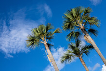 Green Palm Tree On Blue Sky Background. Tropical Vacation Banner Template. Fluffy Green Palm Leaf Texture. Sunny Day On Exotic Island. Summer Travel Backdrop. Tall Fan Palm On Cloudy Sky