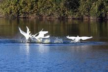 リラックスして油断している2羽のオオハクチョウへ奇襲をかけ、優勢、水上に立ち上がり、頬膨らませ、誇らしげに勝利のダンスの2羽の図。日本、2020年11月