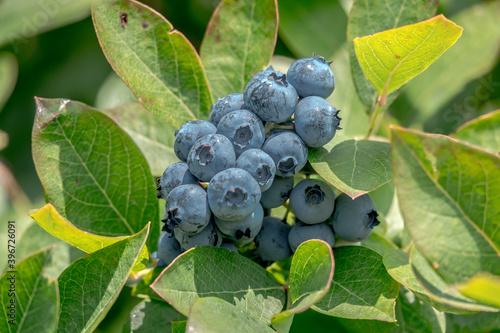 Blueberries on a bush © sardinelly