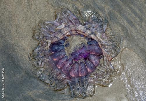 Jellyfish on the beach © sardinelly