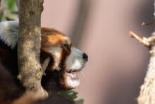 眠そうなレッサーパンダ